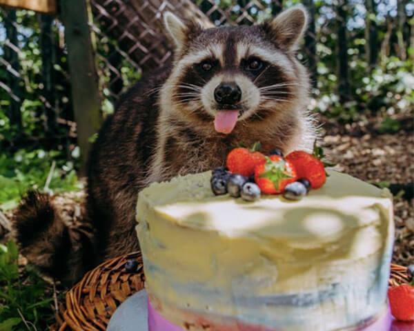 มิซซี่ แร็กคูนสาวกับเค้กวันเกิดของเธอ